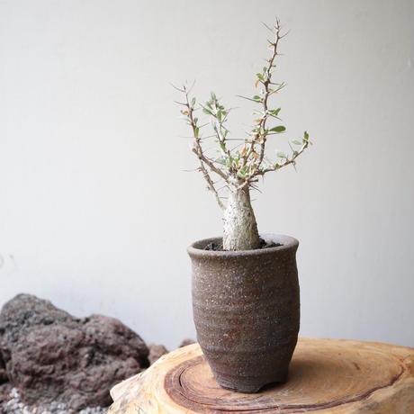 フォークイエリア   コルムナリス   no.010  Fouquieria columnari