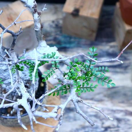 オペルクリカリア  パキプス/Operculicarya  pachypus     no.90516