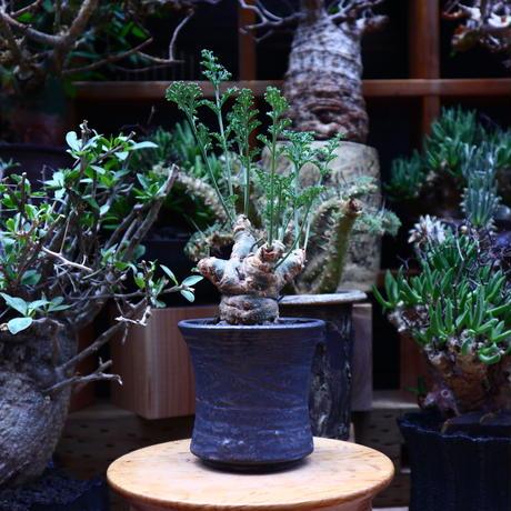 ペラルゴニウム カルノーサム/Pelargonium carnosum  no.60623