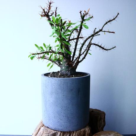 フォークイエリア   プルプシー   ×  ファシクラータ   Fouquieria purpusii   ×   fasciculata No.045
