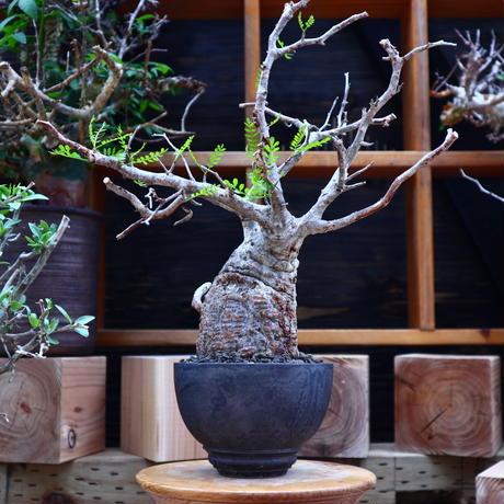 オペルクリカリア  パキプス/Operculicarya  pachypus     no.60642