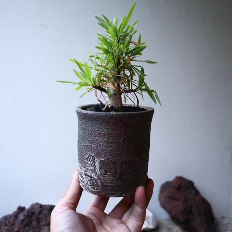 フォークイエリア   プルプシー  実生  Fouquieria purpusii   no.91526