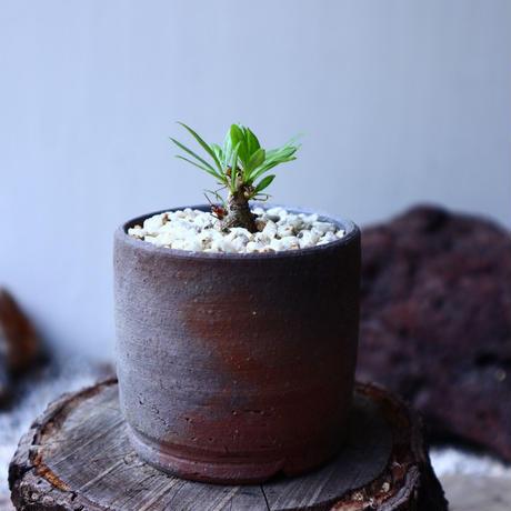 フォークイエリア   プルプシー  挿し木    Fouquieria purpusii   no.62307