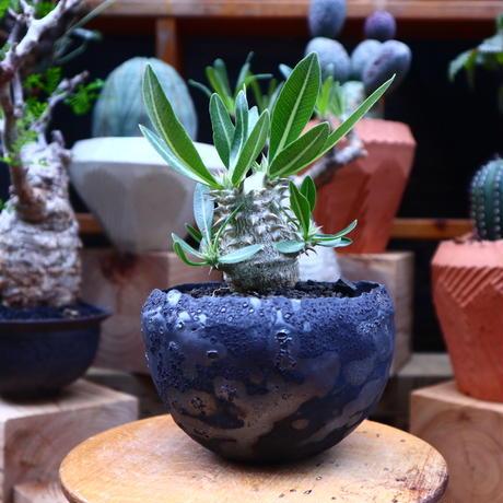 パキポディウム  恵比寿大黒  実生/Pachypodium  Densicaule    no.71821