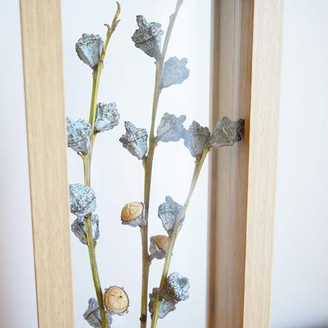 花言葉の植物標本フレーム  / ユーカリグロボラス