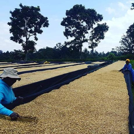 タンザニア キリマンジャロ農園 ピーベリー 200g 【中煎り】