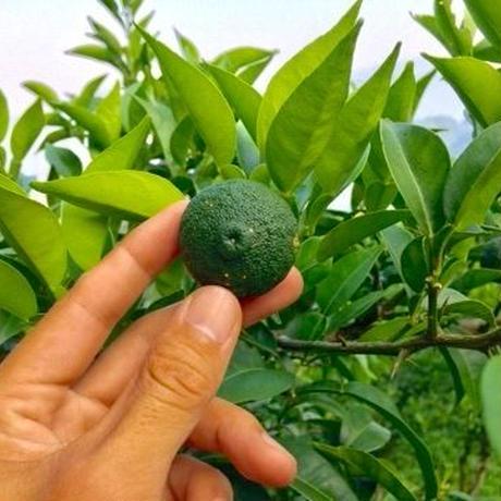 晩夏の青柚子 20個 [潮と空農園] made in 高知県