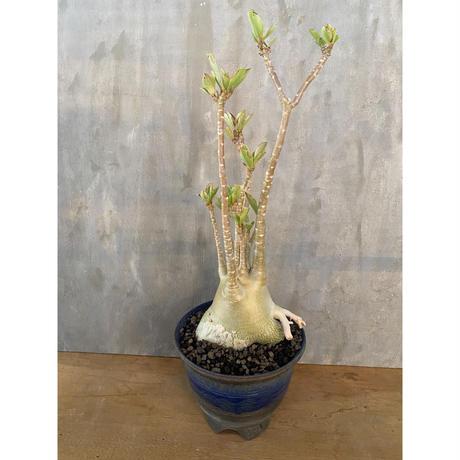 アデニウム  砂漠のばら 塊根植物 コーデックス