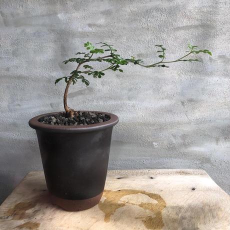 オペルクリカリア パキプス 実生株  20 陶器鉢 塊根植物 コーデックス