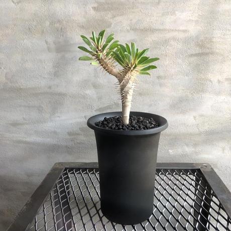 ユーフォルビア ギラウミニアナ 実生株 塊根植物 コーデックス  多肉植物