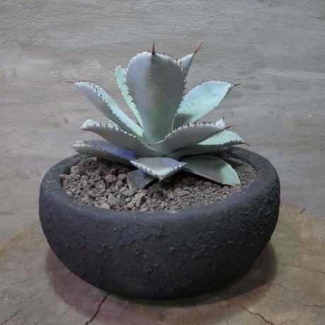 """アガベ ドラゴントゥース Agave pygmaea """"Dragon Toes"""