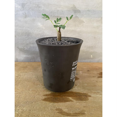 センナ メディオナリス 実生株 塊根植物  コーデックス 多肉植物