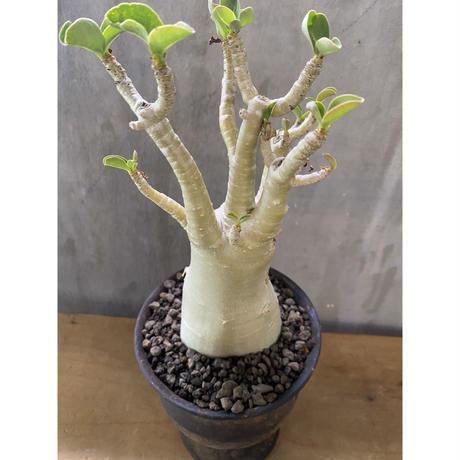 アデニウム  砂漠のばら 塊根植物 コーデックス 多肉植物