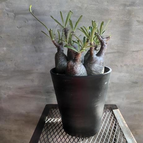 パキポディウム グラキリス  5頭株 420 塊根植物 コーデックス 現地株