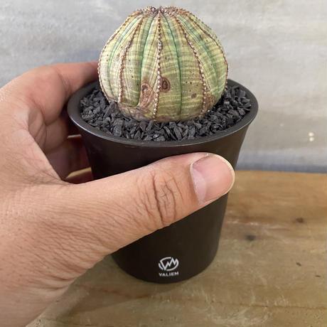 ユーフォルビア ホリダ valiem 塊根植物  コーデックス