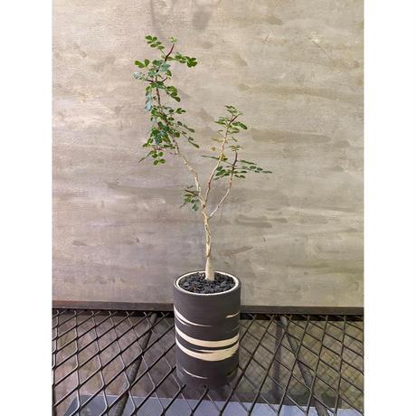 パキコルム ディスカラー  実生株 塊根植物 コーデックス