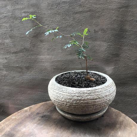 オペルクリカリア パキプス 実生株 33 塊根植物 コーデックス