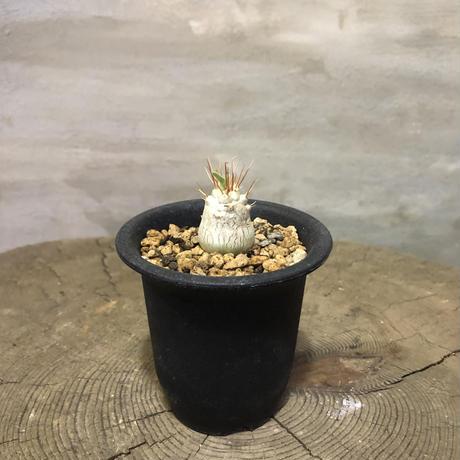 パキポディウム  ナマクアナム 光堂    実生 1 塊根植物 コーデックス