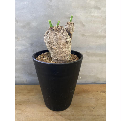 ユーフォルビア クラビゲラ 塊根植物 コーデックス 現地球