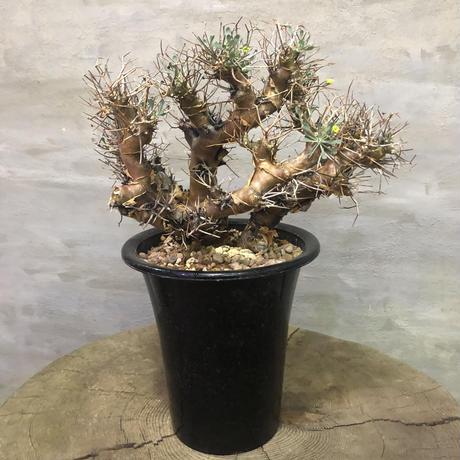 オトンナ ユーフォルビオイデス 25 黒鬼城 コーデックス 塊根植物