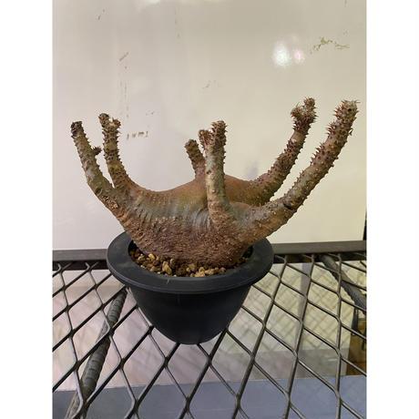 パキポディウム マカイエンセ 1番 塊根植物 コーデックス 現地球