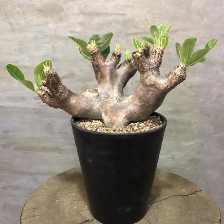 パキポディウム エニグマチカム 30 塊根植物 コーデックス 現地球