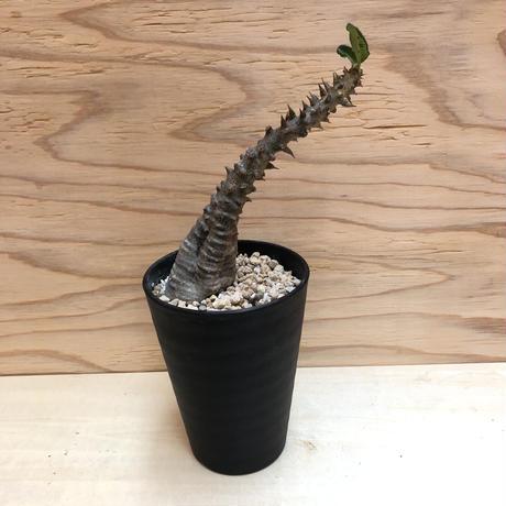 パキポディウム  ウィンゾリー  16 塊根植物コーデックス  現地球