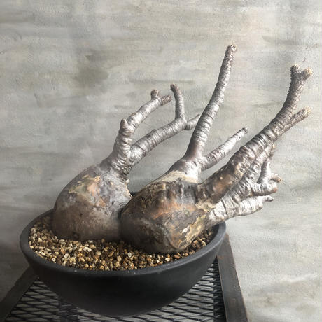 パキポディウム グラキリス  多頭 大株 塊根植物 コーデックス 現地球