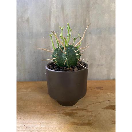 ユーフォルビア  バリダ valiem 塊根植物 コーデックス