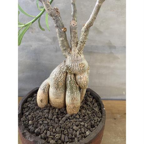 パキホディウム サキュレンタム 塊根植物 コーデックス 多肉植物