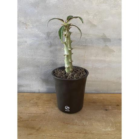 パキホディウム バロニー 国内実生株 valiem 塊根植物  コーデックス