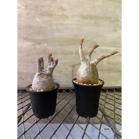 パキホディウム グラキリス 塊根植物 コーデックス マダガスカル現地球