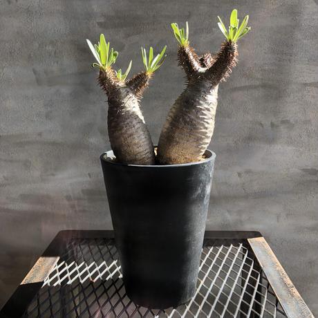 パキポディウム グラキリス  421 塊根植物 コーデックス 現地球