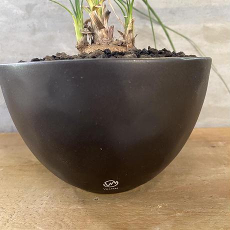 カリバナス フーケリー 実生株 塊根植物 コーデックス
