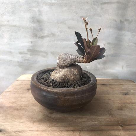 ユーフォルビア スパポダ  10 陶器鉢 塊根植物 コーデックス