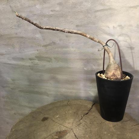 パキポディウム ウィンゾリー 10   塊根植物 コーデックス 現地球