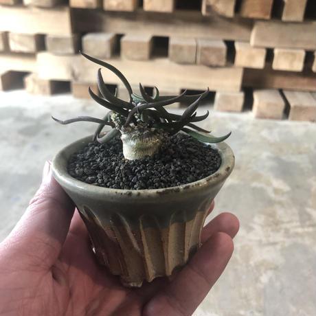 ユーフォルビア キリンドフォリア  観葉植物 塊根植物 コーデックス