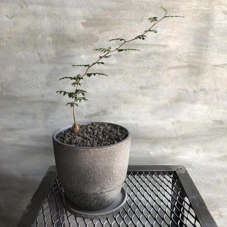 オペルクリカリア パキプス 実生株  45 塊根植物 コーデックス