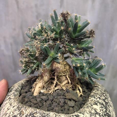 トリコディアデマ 紫晃星 デンサム Trichodiadema densum