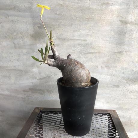 パキポディウム グラキリス  413 塊根植物 コーデックス 現地球