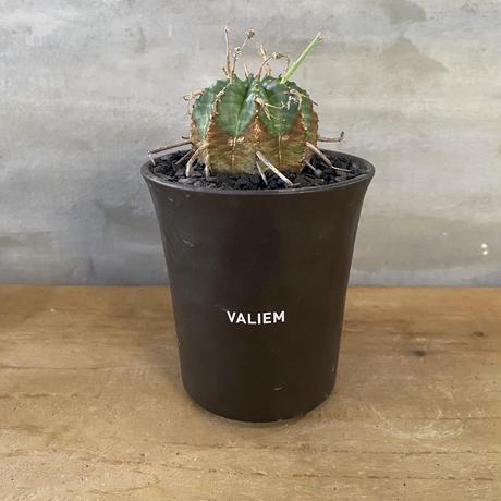 ユーフォルビア バリダ 実生株 塊根植物 コーデックス