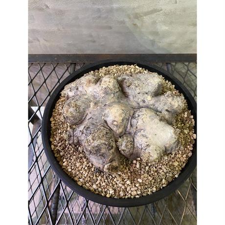 パキホディウム ブレビカウレ 恵比寿笑 塊根植物 コーデックス マダガスカル現地球