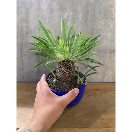 ユーフォルビア 鉄甲丸 メス 塊根植物 コーデックス 多肉植物