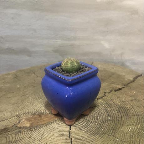 ユーフォルビア オベサ 30 塊根植物 コーデックス 実生