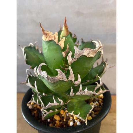 アガベ レッドキャットウィズルー リュウゼツラン 多肉植物 塊根植物 コーデックス