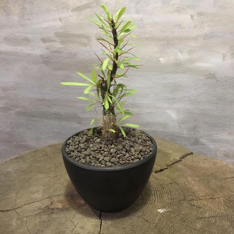 フォークイエリア プルプシー 塊根植物 コーデックス
