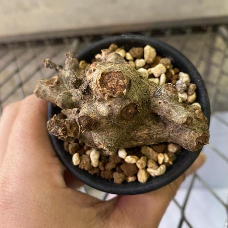 チレコドン ペアルソニー  2番 現地新着株 塊根植物 コーデックス 冬型植物