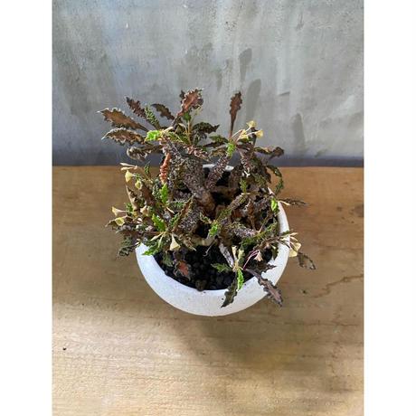 ユーフォルビア  デカリー 塊根植物 コーデックス  多肉植物