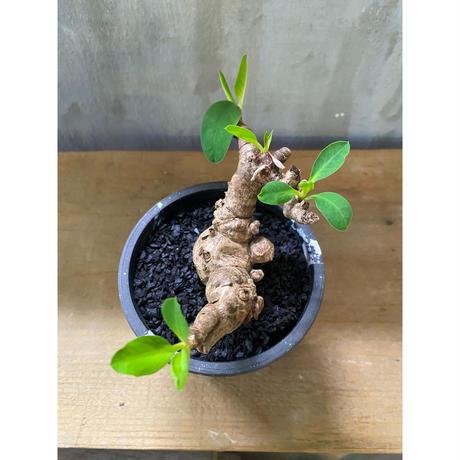ユーフォルビア  イトレメンシス みるく鉢 塊根植物 コーデックス