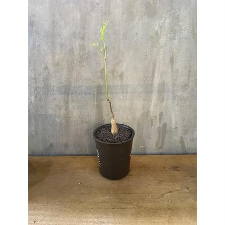 キフォステンマ パキプス 国内実生 valiem 塊根植物  コーデックス